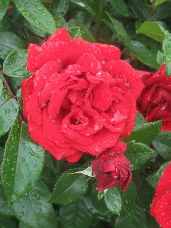 Bern rose garden